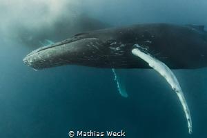 Humpback Whale by Mathias Weck