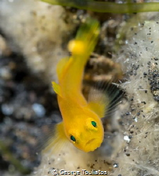 Yellow Goby!!! by George Touliatos