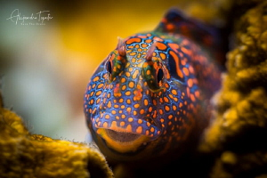 Blenny in the Reef, Isla Lobos México by Alejandro Topete