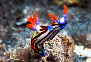 Nembrotha undescribed sp./Photographed with a Canon 60 mm... by Laurie Slawson