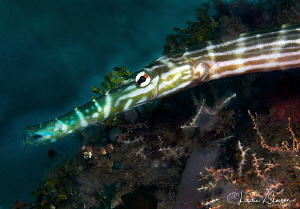 Trumpetfish/Photographed with a Canon 60 mm macro lens at... by Laurie Slawson