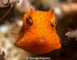Orange Boxfish!!! by George Touliatos