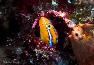 Blue-Striped Fang Blenny/Photographed with a Canon 60 mm ... by Laurie Slawson