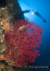 Red Gorgonian - Blue hole reef. Used two strobes and a fi... by James Garland