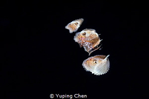 Paper Nautilus (Female) by Yuping Chen