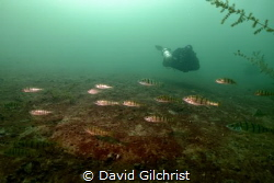 A diver observes a school of yellow perch at the Welland ... by David Gilchrist