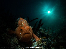 Small Frogfish taking a stroll. by Tim Steenssens