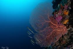 Razor fish marvelling at this beautiful seafan. by Morgan Riggs