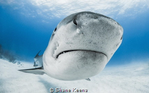 A tiger shark comes in low and close against my dome port... by Shane Keena