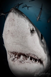 A great white comes in close to check out my camera by Joshua Schellenberg