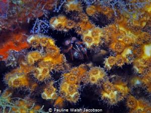 Dark Mantis Shrimp and coral Polyps, Blue Heron Bridge, F... by Pauline Walsh Jacobson