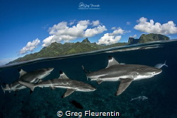 Black tip reef sharks above Moorea, the heart of French P... by Greg Fleurentin