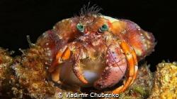 Hermit Crab by Vladimir Chubenko