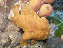 Giant frogfish - Antennarius commerson by Hansruedi Wuersten