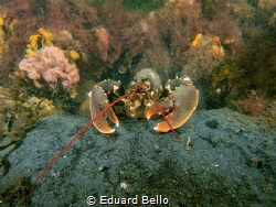 Picture taken during a contest onk. Lobster protecting hi... by Eduard Bello