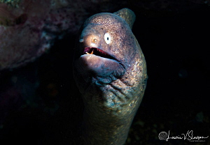 White-eyed moray eel/Photographed with a Canon 60 mm macr... by Laurie Slawson