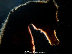 Seahorse - backlit by Tim Steenssens