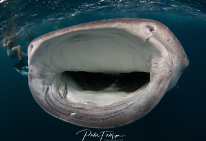 Whaleshark in the gulf of Tadjoura (Red sea, Djibouti) by Pieter Firlefyn