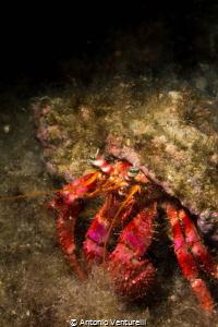 Dardanus Arrosor in Mediterranean Sea, photographed with ... by Antonio Venturelli