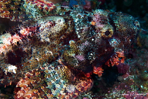 Tassled Scorpionfish/Photographed with a Canon 60 mm macr... by Laurie Slawson