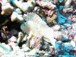 Spiny waspfish    by Hansruedi Wuersten