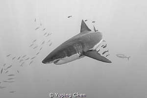 Great White Shark by Yuping Chen