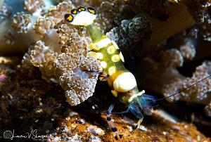 Peacock-Tail Anemone Shrimp/Photographed with a Canon 60 ... by Laurie Slawson