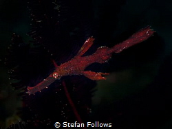 Night Rider  Robust Ghost Pipefish - Solenostomus cyano... by Stefan Follows