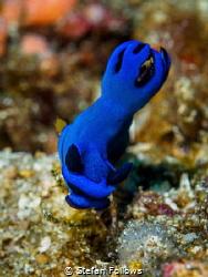 Kinda' Blue  Nudibranch - Tambja morosa  Bali, Indonesia by Stefan Follows