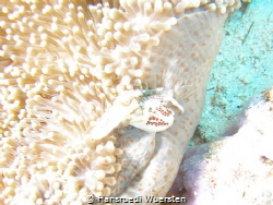 Porcelain Crabs on seapen - Lissoporcellana cf nakasonei by Hansruedi Wuersten