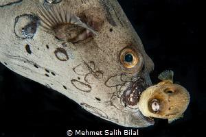 Mature puffer fish caring a baby one. by Mehmet Salih Bilal