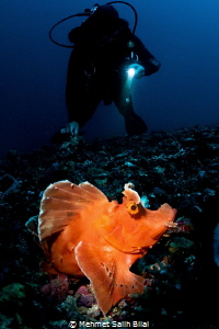 The rhinopias with a diver. Snooted with Inon Z330 and Re... by Mehmet Salih Bilal