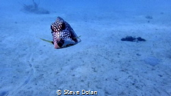 """""""Curious"""" A little curious Trunkfish in Barbados. Taken w... by Steve Dolan"""