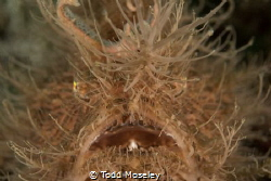 Bad Hair day. Hairy Frogfish by Todd Moseley