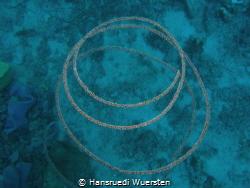 Spiral Coral - Cirrhipathes spiralis by Hansruedi Wuersten