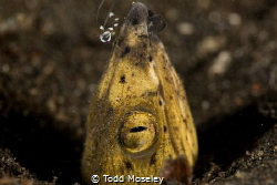 Black Finned Snaked Eel with shrimp by Todd Moseley
