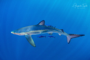 Blue Shark with 3 pilots fish, Cabo San Lucas México by Alejandro Topete