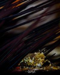Bubble Bee Shrimp. By Nikon Z7, 105mm, Nauticam housing, ... by Qunyi Zhang