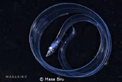 eel by Masa Biru