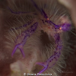 Pink hairy squat lobster (Lauriea siagiani) by Oksana Maksymova