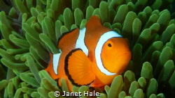 While diving in Lembeh Strait, I came upon a very active ... by Janet Hale