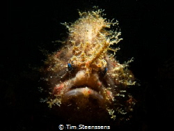 Hairy frogfish in Lembeh Strait by Tim Steenssens