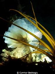 Phoronis australis Marine horseshoe worm by Cumhur Gedikoglu