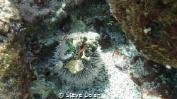 West Indian Sea Egg a.k.a. White Sea Urchin with it's col... by Steve Dolan