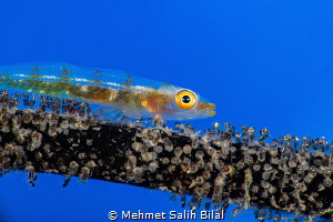 Wire coral goby with her mature eggs. by Mehmet Salih Bilal