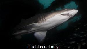 Sand Tiger Shark on Aeolus wreck, off Morehead City, NC by Tobias Reitmayr