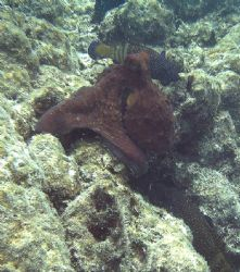 I just love watching octopi and the way they can mimic th... by Shawn Holm