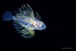 Larval lionfish by Julian Hsu