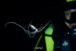 Long arm octopus with a shocked diver behind. Shot by Nik... by Qunyi Zhang