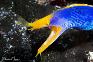Male ribbon eel/Photographed with a Canon 60 mm macro len... by Laurie Slawson